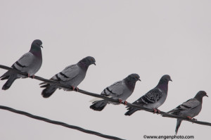 The originial image of the five pigeons on a wire before editing