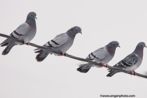 An image of four pigeons illustrating the lack of dynamic when the number of elements in the photo are even.