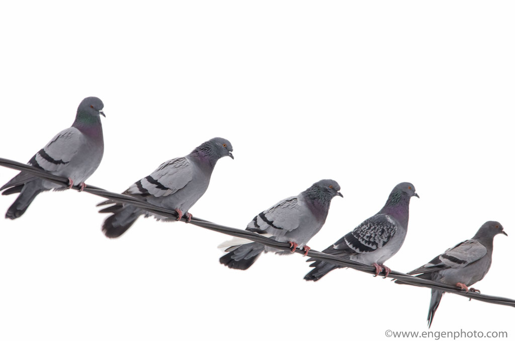 A photo of five common pigeons on a wire illustrating the rule of odds