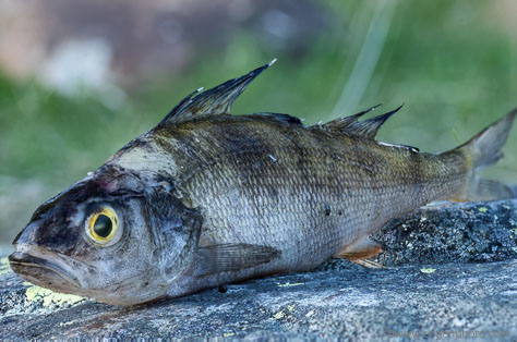 An example of unsuccessful focus stacking, showing an image of a fish (Perch).