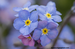 Macro image of forget-me-nots illustrating a narrow depth of field