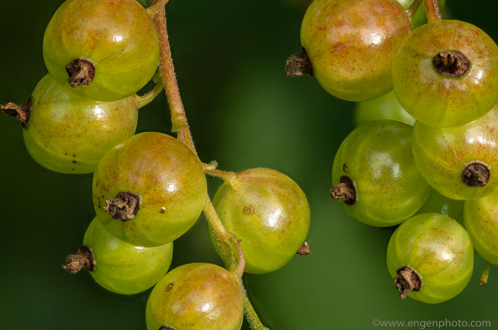 Unripe red currants show the final result of focus stacking
