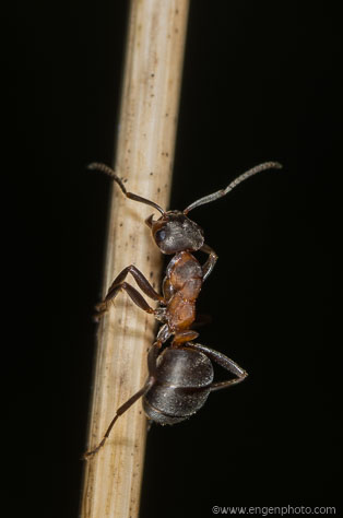A red wood ant (Formica rufa) on a straw illustrating insect macro photography